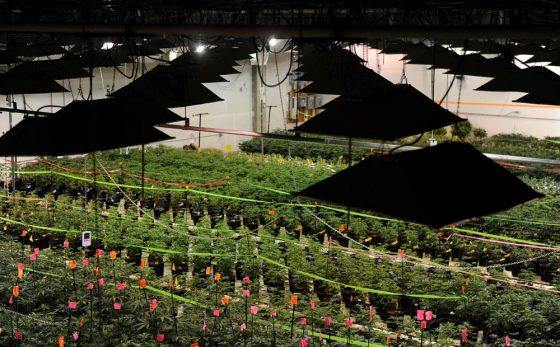 Cannabis Grows — Legal Or Not — Are Far From Business As Usual For Electric Co's