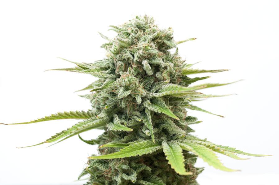 Major Differences: Marijuana Edibles Vs. Dry Buds