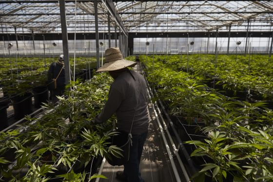 What's That Smell? California Flower Town's Shift To Pot Creates Stink