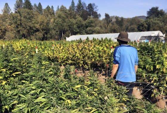 Alliance Of California Marijuana Growers File Lawsuit To Block Vast Cultivation Operations
