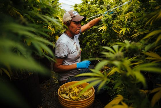 California Cannabis Growers Are Assessing The Damages. After The Shock, Resignation.