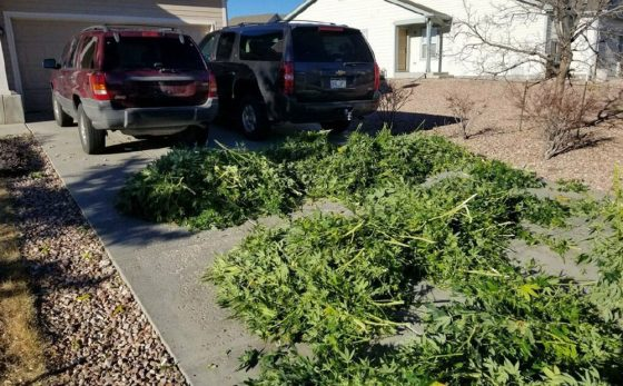 Colorado's First Big Illegal Grow Raids Of 2018: Hundreds Of Plants In Two Seizures