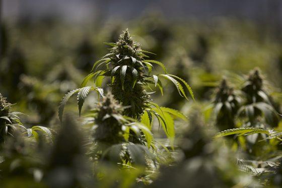 Colorado's Legalized Marijuana Would Be Federally Lawful Under Bill Introduced By Cory Gardner, Elizabeth Warren