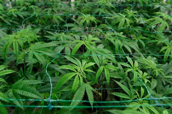 Illegal Marijuana Grow Uncovered In Pueblo West Home