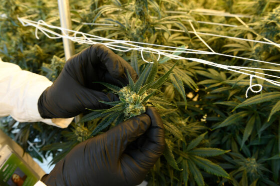 Marijuana Delivery, Social Equity Reform And Other Colorado Cannabis Trends To Watch In 2021