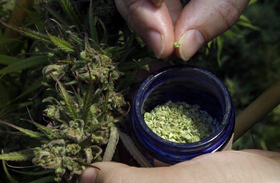Marijuana Growers Turning To Hemp As CBD Extract Explodes