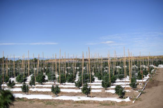 To Boost Its Economy, One Colorado County Embraced Marijuana. Did It Work?