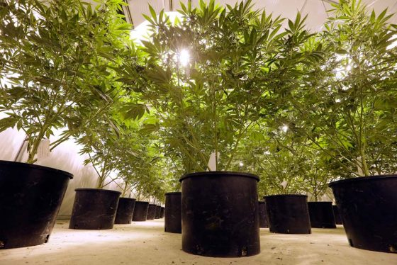 Is It Possible To Turn Seized Marijuana Plants Into Energy?